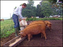 Ben Hollins with his pigs