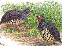 Manipur Bush-Quail  (Photo form Partridges and Grouse by Steve Madge and Phil McGowan)