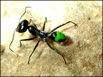 Ant with short legs (Science)