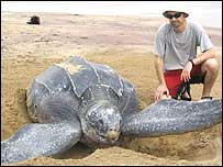 Swansea Phd student Tom Doyle with a leatherback turtle