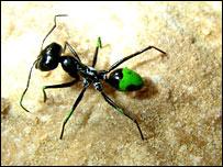 Hormiga Cataglyphis fortis.
