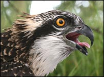 One of the Glaslyn osprey chicks, picture courtesy of RSPB