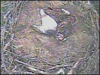 Webcam picture of the Glaslyn osprey nest
