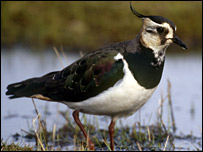 Lapwing (pic by RSPB)