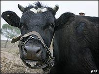 Vaca (gen�rica)