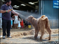 A calf being hosed down