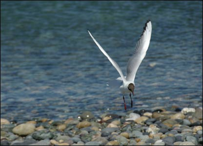 Black-headed gull on the shoreline of Cemlyn Bay, Anglesey (Chris Tatam)