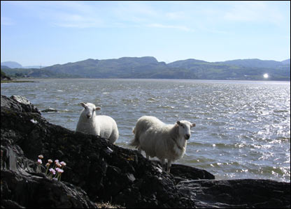 Sheep at Abergafren, as captured by Rachel Martyn