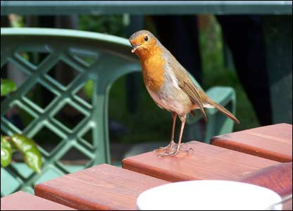 An inquisitive Robin in the cafe at Pwligwaelod, Dinas Island, Pembrokeshire, sent by Glyn Davies