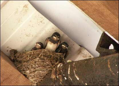 Swallow fledglings in farm barn. Enid Gwillim from Ystradgynlais