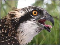 Osprey (courtesy of RSPB)