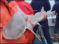 A shark being tagged (Sussex Sea Fisheries District Committee)