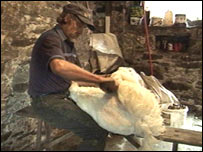 Dei Roberts shearing by hand
