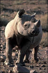 Rinoceronte negro (Foto: WWF-Canon)