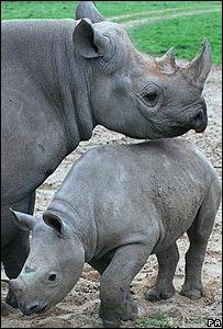 Rinoceronte negro con cr�a.