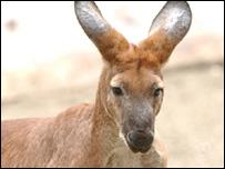 A kangaroo in a Sydney zoo