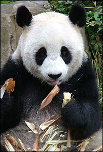 Giant panda eating bambo (Image: David Sheppard/IUCN)