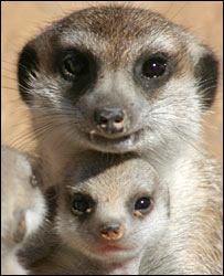 Meerkat adult and pup (Andrew Radford)