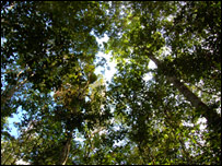 Looking up through the trees (BBC)