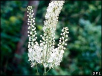Black cohosh (Science Photo Library)