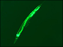 Nematode worm (Sanger Institute)