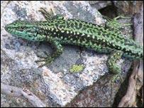 Iberian rock lizard. Image: Carlos Cabido