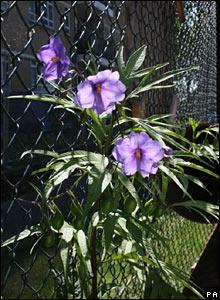 A rare heat loving 'solanum aviculare'
