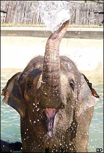 Azizah the Asian elephant at Whipsnade Zoo