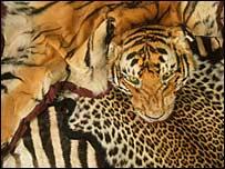 Tiger skins.  Image: WWF-Canon/Edward Parker