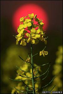 Oilseed plant