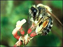 Bee in flower.  Image: Roy Kleukers EIS/Naturalis