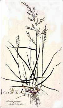 Meadow fescue (Natural History Museum)