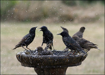 Starlings splash about in a bird bath