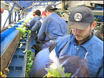 Workers from Eastern Europe picking celery in a Cambridgeshire field for British supermarkets