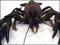 American signal crayfish