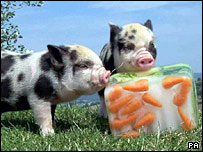 Piglets with carrot ice lolly