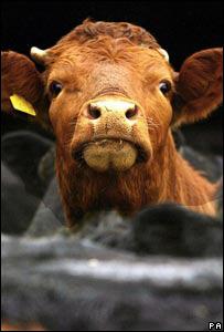 A cow (PA)