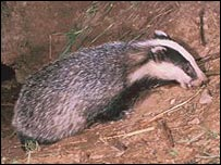 A badger (BBC)