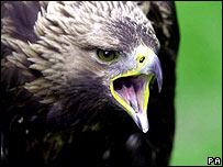 Golden eagle   Image: PA