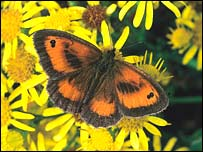 The gatekeeper butterfly - (image courtesy of Butterfly Conservation)