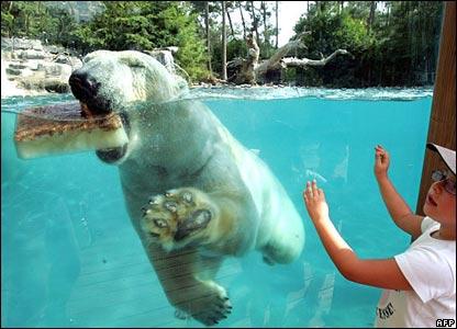 A polar bear enjoys a mackerel-flavoured ice cube at La Fleche zoo, western France