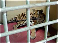 Sarah the Siberian tiger, Haifa Zoo