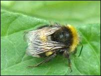 The humble bumble bee is in decline