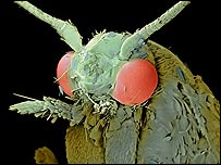 clothes moth - (C) Science Photo Library