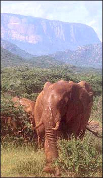 Savannah elephant  Image: Save The Elephants