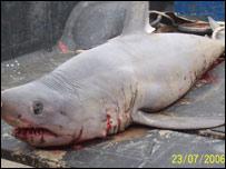 Porbeagle shark  Picture - Gwynedd County Council
