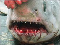 Shark's teeth  Picture - Gwynedd County Council