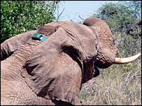 Tagged elephant (Save The Elephants)