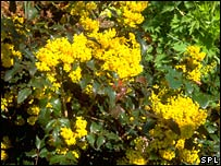 Oregon grape (Brian Gadsby/Science Photo Library)