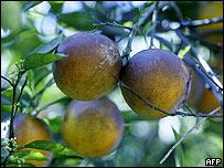 Naranjas de Florida.